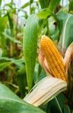 Żółty cob słodka kukurudza na polu Zbiera kukurydzanej uprawy Zdjęcia Royalty Free