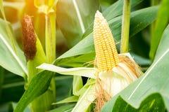 Żółty cob słodka kukurudza na polu Zbiera kukurydzanej uprawy Fotografia Royalty Free