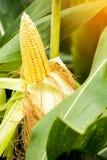 Żółty cob słodka kukurudza na polu Zbiera kukurydzanej uprawy Obrazy Stock