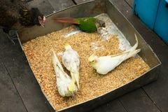 Żółty cockatiel, kurczak i papuga, Fotografia Royalty Free