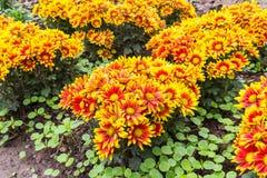 Żółty Czerwony chryzantema kwiatu kwitnienie Fotografia Royalty Free