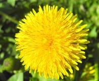 Żółty dandelion Obrazy Royalty Free