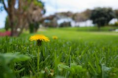 Żółty dandelion kwiat w zielonej łące San Juan park, Telde fotografia stock