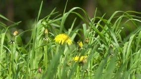 Żółty dandelion kwiatu zakończenie up zdjęcie wideo