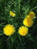 Żółty dandelion na zielonej trawie Zdjęcie Stock