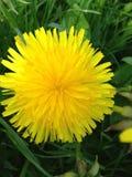 Żółty dandelion na zielonej trawie Zdjęcia Stock