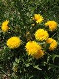 Żółty dandelion na zielonej trawie fotografia royalty free