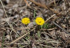 Żółty dandelion w lesie na wczesnym wiosny zbliżeniu Zdjęcie Stock