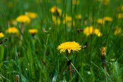 Żółty dandelions pole na zielonej trawie Kwiecisty koloru kwiatu tło cherry t?a kwitn?cego blisko Japan spring kwiecisty drzewo Z obraz stock