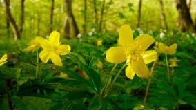 Żółty drewniany anemon fotografia royalty free