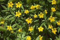 Żółty drewniany anemon obrazy royalty free