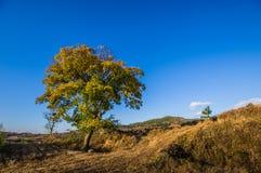 Żółty drzewo Fotografia Stock