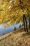 Żółty drzewo blisko jeziora w spadku zdjęcie stock