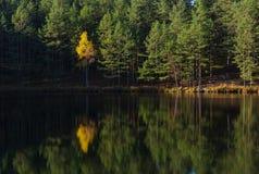 Żółty drzewo na tle las na jeziorze z odbiciem fotografia royalty free