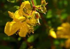 Żółty dziki kwiat, śródpolny kwiat w backlighting, reschovsky łąkowy dziki kwiat Obrazy Stock