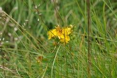 Żółty dziki kwiat Zdjęcie Royalty Free