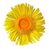 Żółty dziki kwiat odizolowywający na białym tle zamknięty pączkowy zamknięty kwiat Zdjęcia Royalty Free