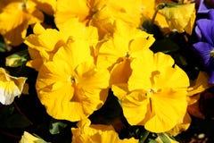 Żółty Dziki pansy lub altówka tricolor mali dzicy kwiaty z jaskrawymi płatkami gęsto zasadzającymi w miejscowego ogródzie na ciep obraz royalty free