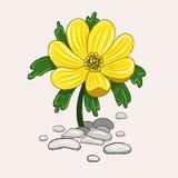 Żółty eranthis kwiat na świetle - różowy tło royalty ilustracja