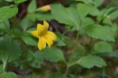 Żółty fiołek zieleni ulistnienie 02 Obraz Stock