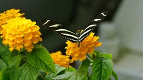 Żółty floret z motylem zdjęcie wideo