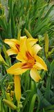 Żółty flower& x27; s obrazy royalty free