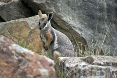 Żółty footed rockowego wallaby joey obrazy royalty free