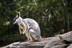 Żółty footed rockowy wallaby obrazy royalty free