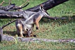 Żółty footed rockowy wallaby i jej joey fotografia stock
