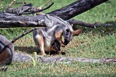 Żółty footed rockowy wallaby i jej joey obraz royalty free