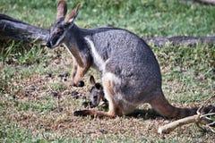 Żółty footed rockowy wallaby i jej joey obrazy stock