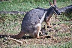 Żółty footed rockowy wallaby i jej joey zdjęcia royalty free