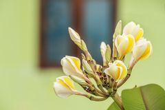 Żółty Frangipani kwiat Fotografia Royalty Free