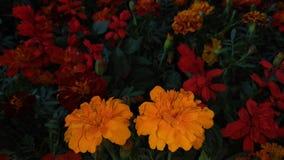 Żółty gad kwitnie nighttime zdjęcia royalty free