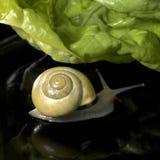 Żółty gaju ślimaczek, sałatka i Obrazy Stock