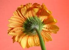 Żółty gerbera Zdjęcie Royalty Free