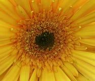 Żółty gerbera Obrazy Royalty Free