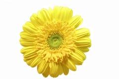 Żółty gerbera Obrazy Stock
