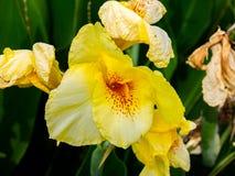 Żółty gladiolus kwitnie w ogródzie fotografia royalty free