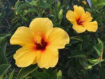 Żółty Hibicus Kwitnie w Profilowym Maui, CZEŚĆ fotografia royalty free