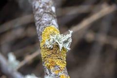 Żółty i biały liszaj na gałąź zbliżeniu zdjęcie royalty free