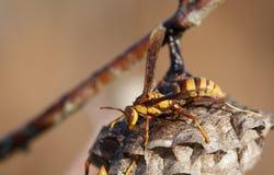 Żółty i brown szerszeń na gniazdeczku Obrazy Stock