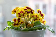 Żółty i czerwony primula hortensis, primoses, wczesna wiosna kwitnie w kwiacie zdjęcia royalty free
