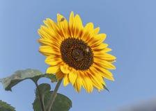 Żółty i Czerwony słonecznik z zdjęcia stock