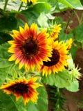 Żółty i pomarańczowy piękno zdjęcie royalty free