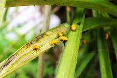 Żółty insekt na zielonym liściu obrazy royalty free