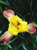 Żółty irys Zdjęcia Royalty Free