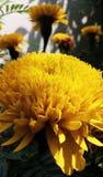 Żółty jamanthy kwiat od gardern obrazy royalty free