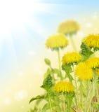 Żółty jaskrawy dandelion kwitnie pod słońcem Zdjęcie Royalty Free