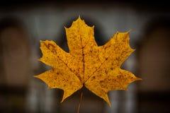 Żółty jesień liść samotnie jeden fotografia royalty free